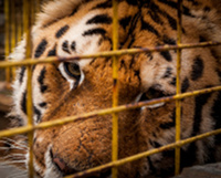 Последний шанс для тигра Тони
