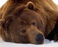 Защитите румынских бурых медведей